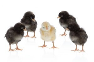 2707821 - one yellow chicken, four black chickens © Perrush - Fotolia.de